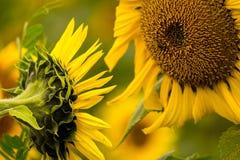 colore giallo floreale dei girasoli del fiore del campo Fotografie Stock