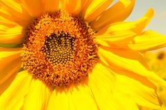 colore giallo floreale dei girasoli del fiore del campo Fotografie Stock Libere da Diritti