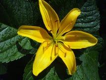 Colore giallo lilly Fotografie Stock Libere da Diritti