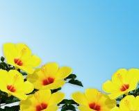 Colore giallo luminoso dell'ibisco Fotografia Stock Libera da Diritti