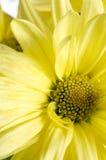 Colore giallo a macroistruzione della mummia del disco Fotografia Stock Libera da Diritti