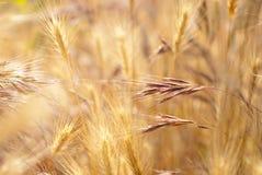 colore giallo maturo dell'erba del campo Fotografia Stock