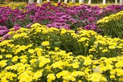 colore giallo rosso del crisantemo Immagini Stock