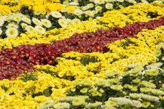 colore giallo rosso del crisantemo Immagini Stock Libere da Diritti