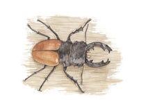 Colore giallo - scarabeo di maschio Immagine Stock