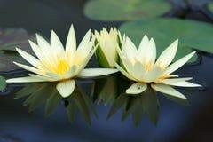 Colore giallo waterlily Fotografie Stock Libere da Diritti