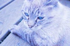 Colore grigio-blu del gatto con gli occhi azzurri fotografia stock