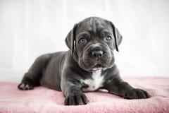 Colore grigio di Cane Corso del cucciolo sui precedenti Fotografia Stock Libera da Diritti