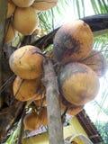 Colore marrone arancio della frutta della noce di cocco di re che appende sull'albero Fotografia Stock