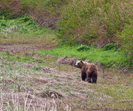 colore marrone degli orsi Immagine Stock