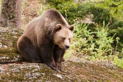 colore marrone dell'orso Fotografia Stock