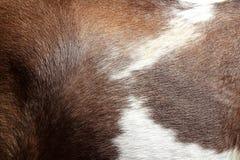 Colore marrone e bianco di struttura della pelle dei capelli del cavallo Immagini Stock