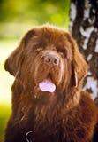 Colore marrone felice Terranova del cane Fotografia Stock