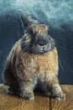 Colore marrone-rosso del coniglio Immagine Stock