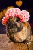 Colore marrone-rosso del coniglio Fotografie Stock