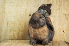 Colore marrone-rosso del coniglio Immagine Stock Libera da Diritti