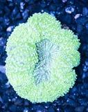 Colore matellic verde Symphyllia Brain Coral della scogliera esotica Immagini Stock Libere da Diritti