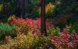Colore nella foresta, Washington State di caduta Immagini Stock Libere da Diritti