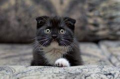 Colore originale del gattino scozzese sul sofà Immagine Stock