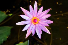 Colore pastello d'annata del fiore di loto al modello ed alla struttura creativi fotografie stock