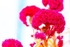 Colore pastello del fiore della cresta di gallo al modello ed alla struttura creativi fotografia stock libera da diritti