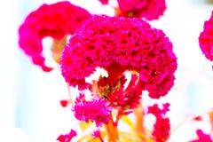 Colore pastello del fiore della cresta di gallo al modello ed alla struttura creativi immagine stock