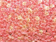 Colore pastello delle rose sulla parete Utile per la decorazione, la carta da parati ed il fondo di nozze fotografia stock