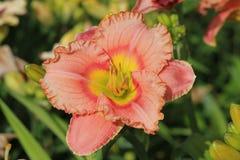 Colore pesca-rosa dell'emerocallide Bello emerocallide nel giardino di estate Fotografie Stock