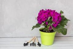 Colore porpora di fioritura dei fiori nella condizione verde del vaso sul fondo grigio Strumenti dopo di menzogne del giardino Po fotografia stock libera da diritti