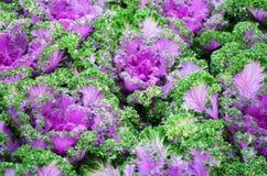 Colore porpora & verde di lattuga Fotografie Stock