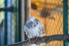 Colore riccio del piccione in bianco e nero che si siede su un ramo Immagine Stock