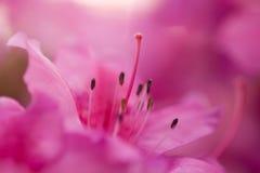 Colore rosa! Immagine Stock