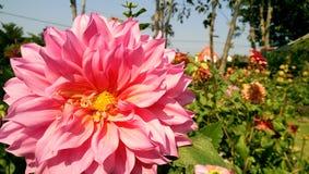 Colore rosa Fotografie Stock Libere da Diritti