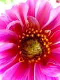 Colore rosa Fotografia Stock Libera da Diritti