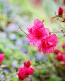 colore rosa caldo Fotografia Stock