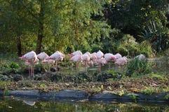 colore rosa dei fenicotteri Immagini Stock Libere da Diritti