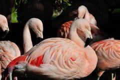 colore rosa dei fenicotteri Fotografia Stock