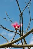 colore rosa del fiore di barringtonia fotografia stock libera da diritti