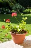 colore rosa del geraniym Fotografia Stock Libera da Diritti