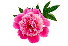 Colore rosa del Peony Fotografia Stock Libera da Diritti
