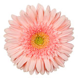 Colore rosa della gerbera Immagine Stock Libera da Diritti