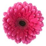 Colore rosa della gerbera su un fondo bianco Fotografie Stock