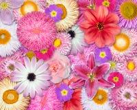 Colore rosa della priorità bassa del fiore, colore rosso, colori bianchi Fotografia Stock Libera da Diritti