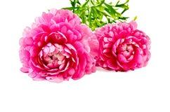 Colore rosa di asiaticus del Ranunculus Fotografia Stock