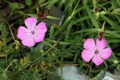 Colore rosa di Piatra Craiului (callizonus del Dianthus) Fotografie Stock