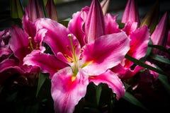 Colore rosa lilly Fotografia Stock Libera da Diritti