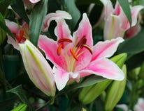 Colore rosa lilly Immagine Stock