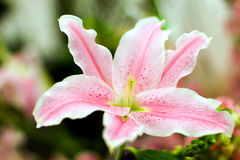 Colore rosa lilly fotografie stock