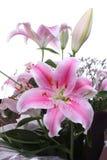 Colore rosa lilly Fotografie Stock Libere da Diritti