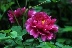 Colore rosa penoy con priorità bassa nera Fotografie Stock